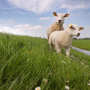 Clostridial disease advice for Northamptonshire sheep and lambs
