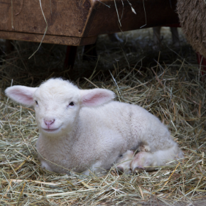 Gareth shares advice on how to give newborn lambs the best start