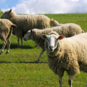 Quarantine measures to protect your flock's productivity