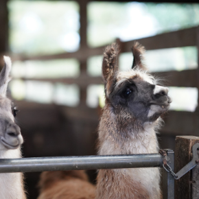 Failure of Passive Transfer (FPT) in camelids