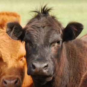 Spotting & avoiding heat stress in cows in Towcester