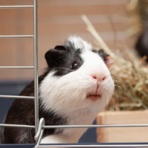 Use Towcester Veterinary Centre's list to beat the Guinea Pig Holiday Blues