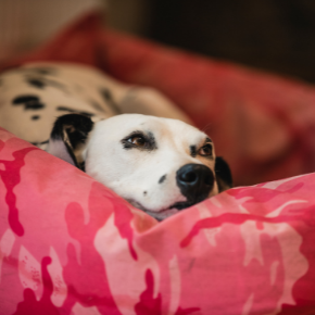 Catharina answers FAQs on dog pregnancy