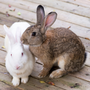 Does your rabbit, guinea pig or hamster need a friend?