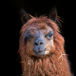 Using eye colour scoring to assess for anaemia in alpacas